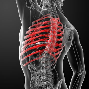 3d render illustration of the rib cage