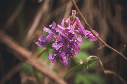 marco photo purple spring flowers hare bell
