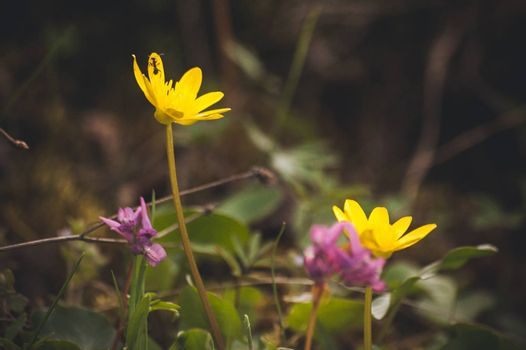 macro photo wild yellow spring flowers primrose