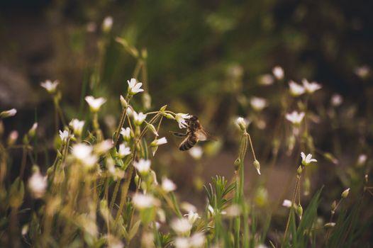bee seating on white wild spring flower
