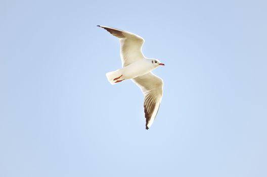 Single Flying Seagull in Blue Sky, Summertime