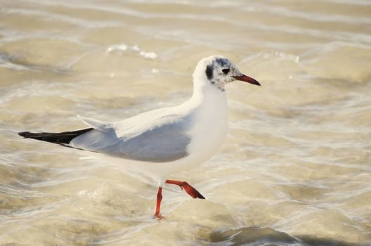 Single Seagull in Sea Water Summertime