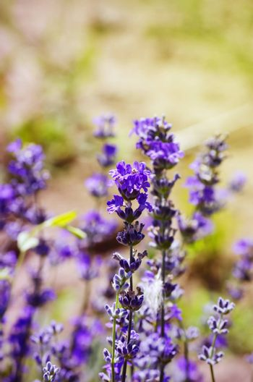 Purple Lavender Blossom Flower in Summertime