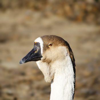 Domestic Goose Portrait Over Beige Background