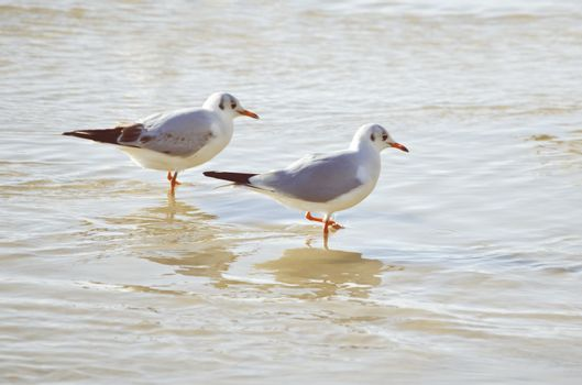 Two Seagulls in Sea Water Summertime