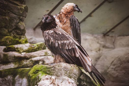 pare of vulture birds siting on rock