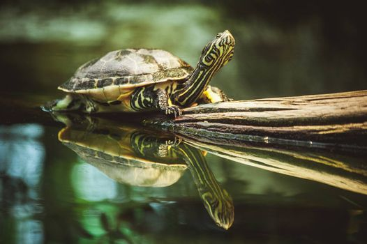 young turtle sitting on branch reflection in water