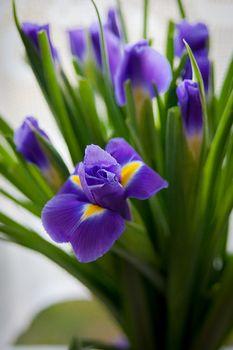 Close up of purple iris flower outdoor.
