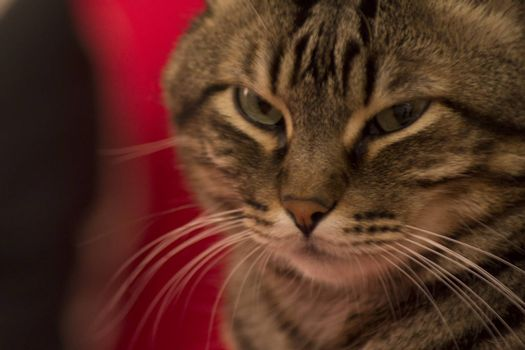 Portrait of tabby cat angry.