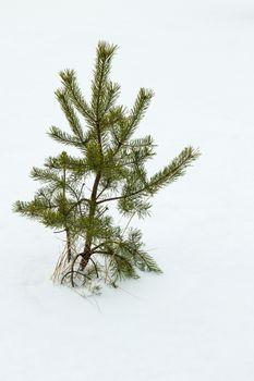 Pine plant growing on white snow