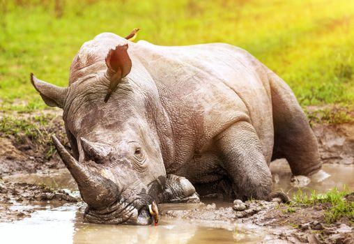 South African wild rhino