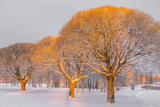 Brittle willows in a winter park