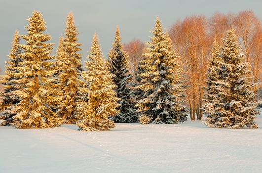 Snow covered trees in the morning light