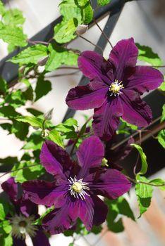 Purple blooming Clematis