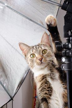 curious cat in photo studio