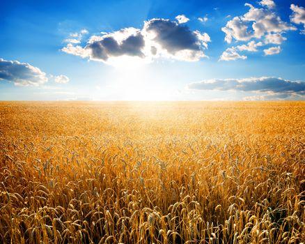 Wheat on field