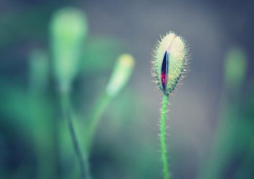 Beautiful poppy bud
