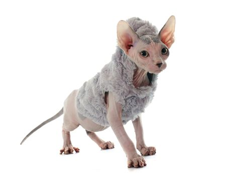 dressed Sphynx Hairless Cat