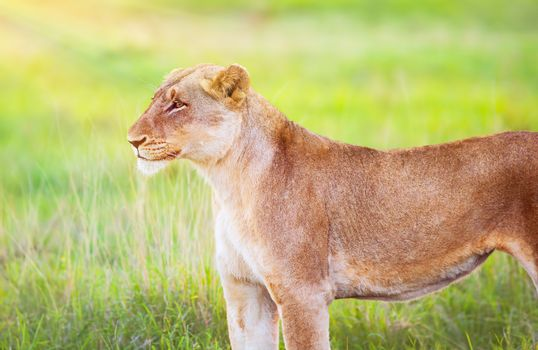 South African wild lioness