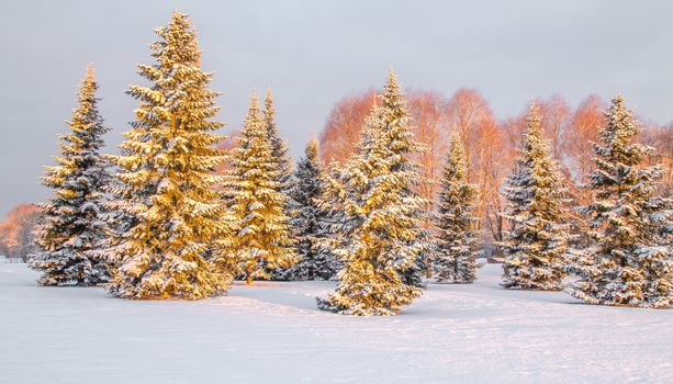 Panoramic view of the snow covered trees in the morning light