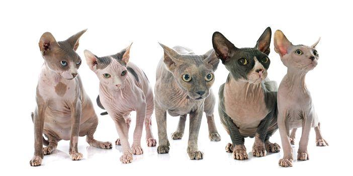 Sphynx Hairless Cats