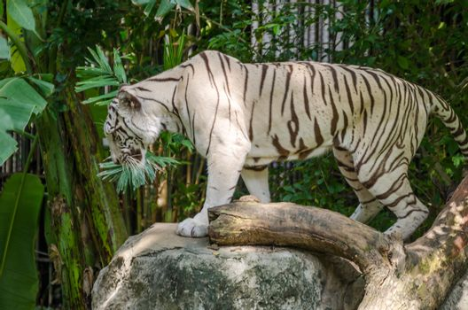 Bengal tiger in a wild