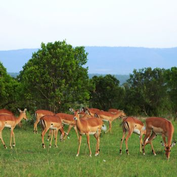 Group of Grant Gazelles