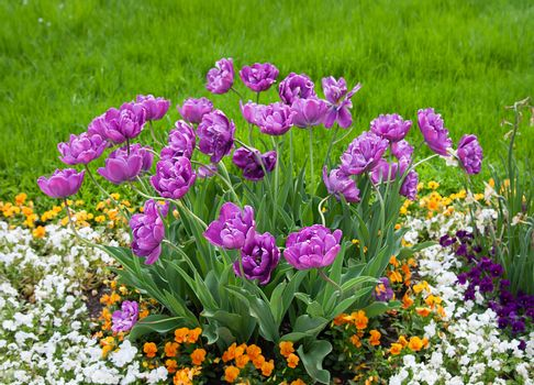 Group purple tulips and other flowers.