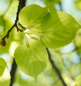 Fresh Summer Leaves on Blurred Green Background
