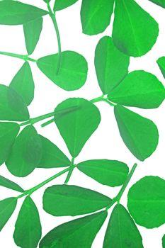 Leaves of Fenugreek, Trigonella Foenum-graecum