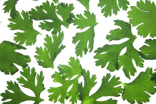 Leaves of Coriander, Coriandrum sativum