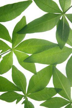 Leaves of Ipomoea cairica (I. palmata)