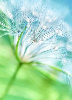 Beautiful dandelion background