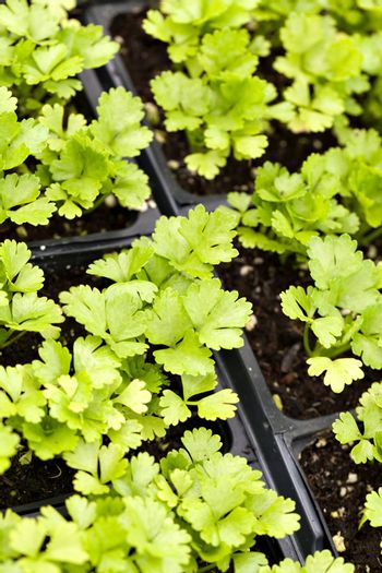 Close up of some celery plants in their young stage. Shallow depth of field.