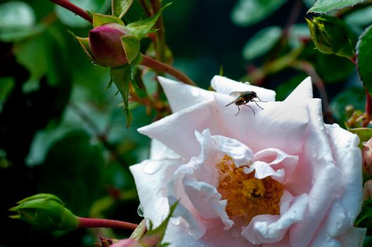 Fly On Rose