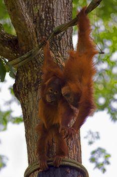 Orangutans in the jungle of Borneo, Malaysia