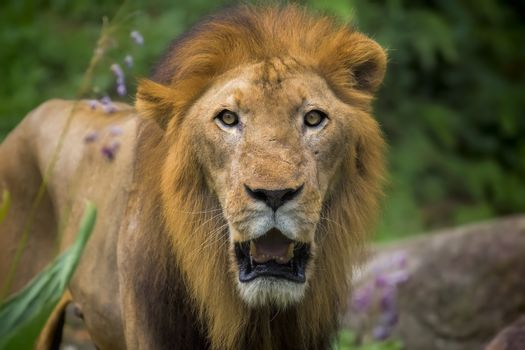 Portrait of a male Lion in Africa