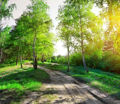 Road through birchwood