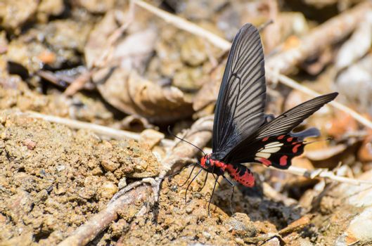Rose Swallowtail butterfly with red and black eating salt licks