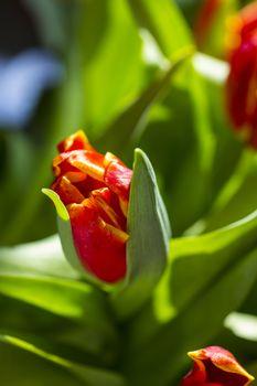Beautiful bouquet red tulip on dark background