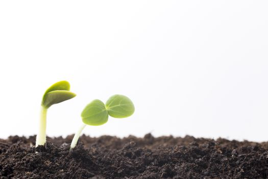 From seeds grown young seedlings.