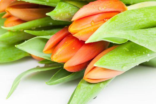 Beautiful orange tulips isolated on white background