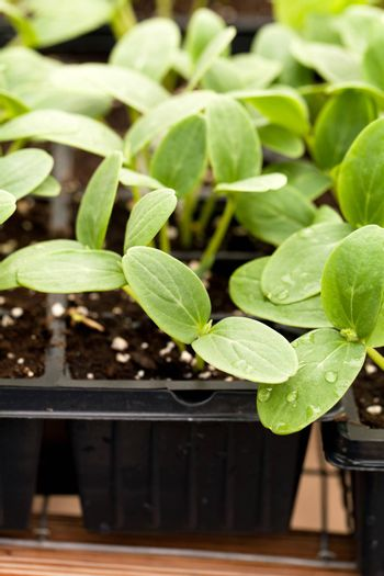 Close up of some young cucumbers plant seedlings in a tray.