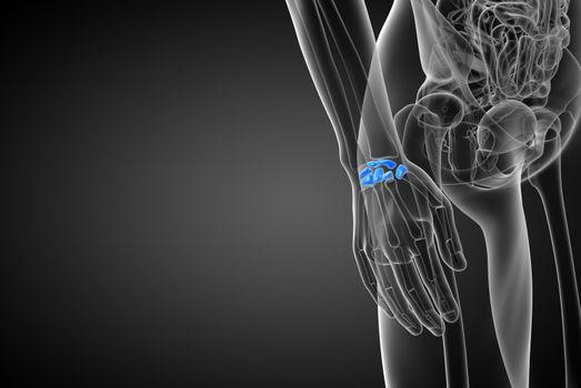 3d rendered illustration of the human carpal bones