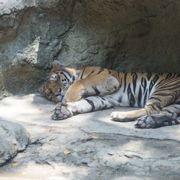 sleep tiger