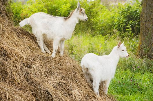 Two White Little Goats in Sunny Summertime