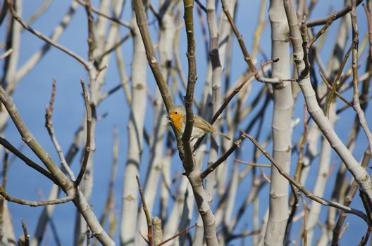 Robin Bird at Tree Branches Over Blue Sky