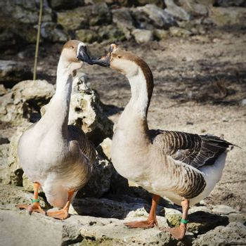 Two Gooses in Love Springtime