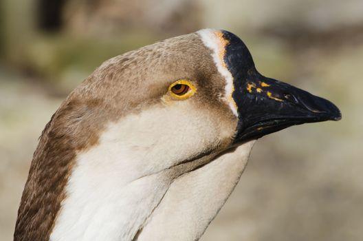 Photo of Goose Portrait in  Springtime