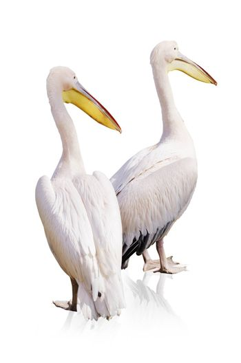 Pelicans Over White Background